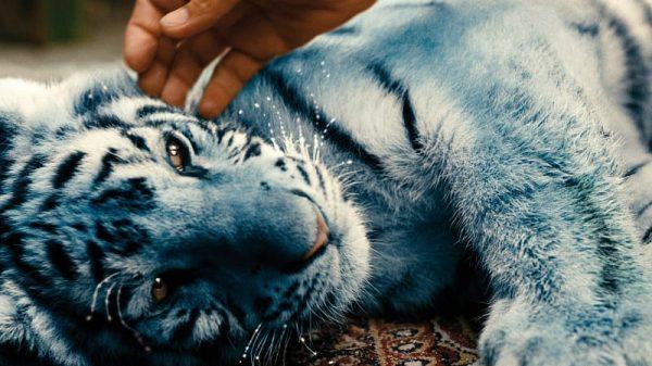 Foto Der blaue Tiger